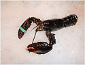 Maine Lobster - Live